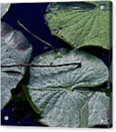 Life Of A Lily Pad Acrylic Print
