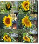 Life Of A Sunflower Acrylic Print