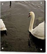 Life Of Swans. Acrylic Print