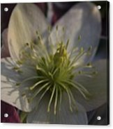 Light And Shadow Hellebore Flower Acrylic Print