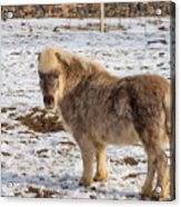 Light Brown Pony Acrylic Print