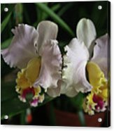 Light Pink And Yellow Orchid Acrylic Print