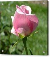 Light Pink Rose Close-up Acrylic Print