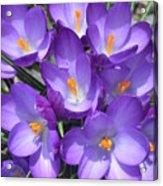 Light Purple Acrylic Print