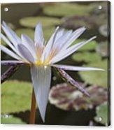 Light Purple Lily Acrylic Print