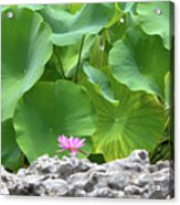 Light Purple Water Lily And Large Green Leaves Acrylic Print