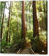 Light The Way - Redwood Forest Of Muir Woods National Monument With Sun Beam. Acrylic Print