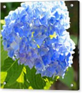 Light Through Blue Hydrangeas Acrylic Print