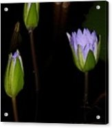 Light Violet Lilies Acrylic Print