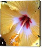 Light Yellow Hybiscus Acrylic Print