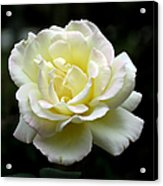 Light Yellow Rose 1 Acrylic Print
