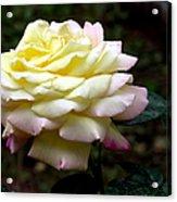 Light Yellow Rose 2 Acrylic Print