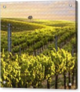 Lighted Vineyard Acrylic Print