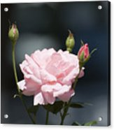 Like A Rose Acrylic Print