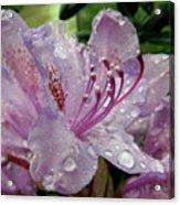 Lilac Azalea Acrylic Print