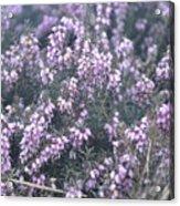 Lilac Bells Acrylic Print