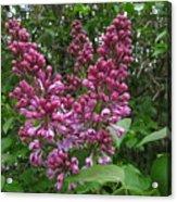 Lilac Blossom Acrylic Print