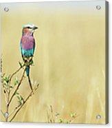 Lilac-breasted Roller (coracias Caudata) Acrylic Print by Elliott Neep