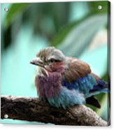 Lilac Breasted Roller Acrylic Print