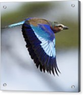 Lilac-breasted Roller-signed Acrylic Print
