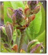 Lilac Buds Acrylic Print