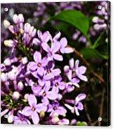 Lilac Bush In Spring Acrylic Print