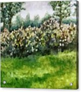 Lilac Bushes In Springtime Acrylic Print