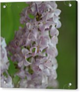 Lilac Dreams With Corner Decorations Acrylic Print