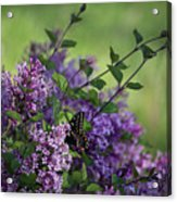Lilac Enchantment Acrylic Print