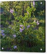 Lilac In Sunshine Acrylic Print