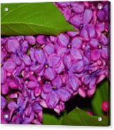 Lilac In The Dark Acrylic Print
