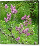 Lilac In The Spring Meadow Acrylic Print
