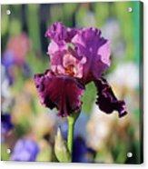 Lilac Iris In Bloom Acrylic Print