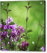 Lilac Memories Acrylic Print