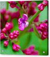 Lilac Opening Acrylic Print