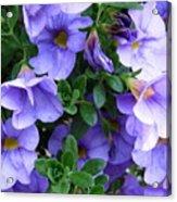 Lilac Petunias Acrylic Print