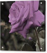 Lilac Rose Acrylic Print by Vijay Sharon Govender