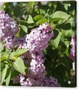 Lilacs 5544 Acrylic Print