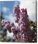 Lilacs 5547 Acrylic Print