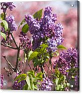 Lilacs And Dogwoods Acrylic Print