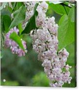 Lilacs In The Rain 6 Acrylic Print