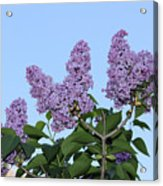 Lilacs In The Sky Acrylic Print