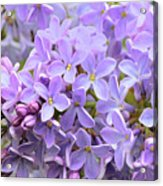 Lilacs-lavender Lovely  Acrylic Print