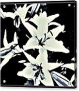 Lilies All Aglow Acrylic Print