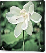 Lilies Of The Water Ivb Acrylic Print
