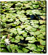Lilies Of The Water Viii Acrylic Print