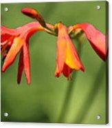 Lilies On Fire Acrylic Print