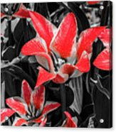 Lilies With A Splash Of Color Acrylic Print