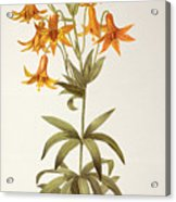 Lilium Penduliflorum Acrylic Print
