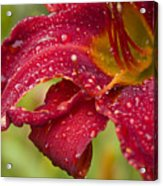 Lilly After Rain Acrylic Print
